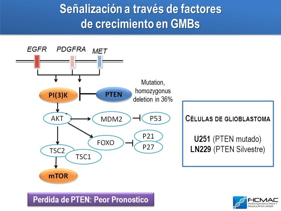 Señalización a través de factores de crecimiento en GMBs C ÉLULAS DE GLIOBLASTOMA U251 (PTEN mutado) LN229 (PTEN Silvestre) Perdida de PTEN: Peor Pron