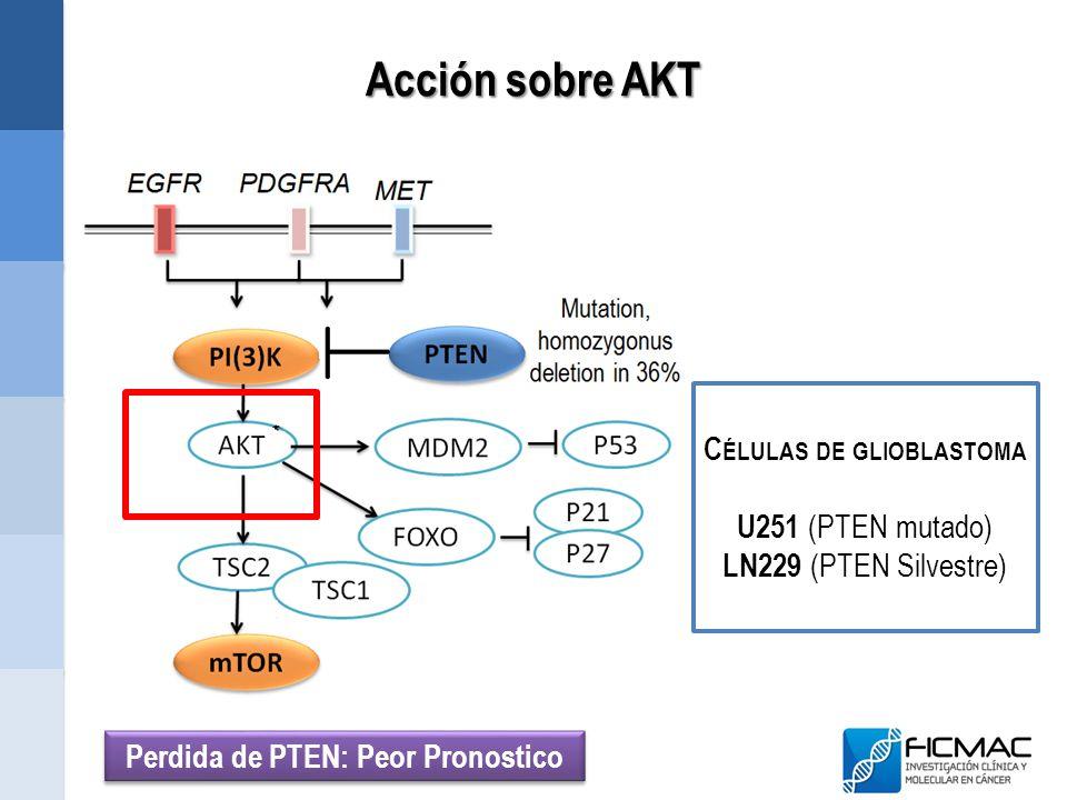 Acción sobre AKT C ÉLULAS DE GLIOBLASTOMA U251 (PTEN mutado) LN229 (PTEN Silvestre) Perdida de PTEN: Peor Pronostico