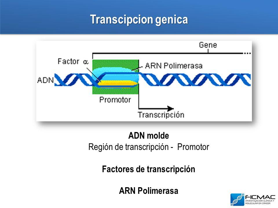 Transcipcion genica ADN molde Región de transcripción - Promotor Factores de transcripción ARN Polimerasa