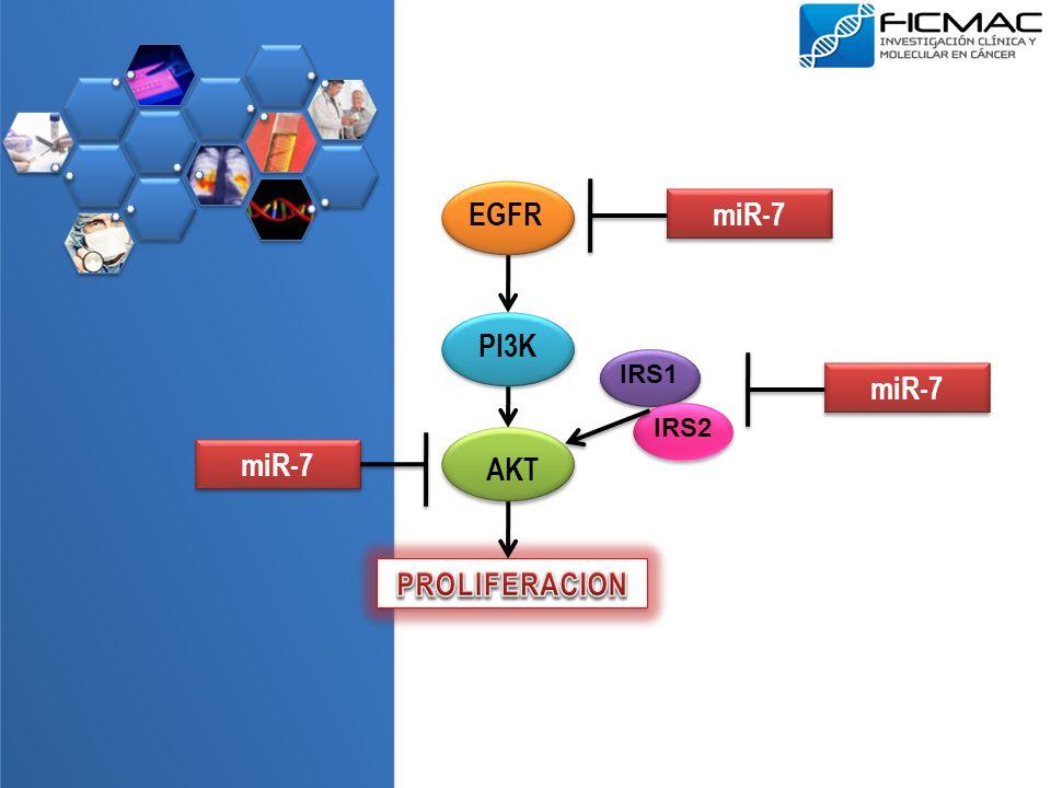 EGFR PI3K AKT IRS1 IRS2 miR-7