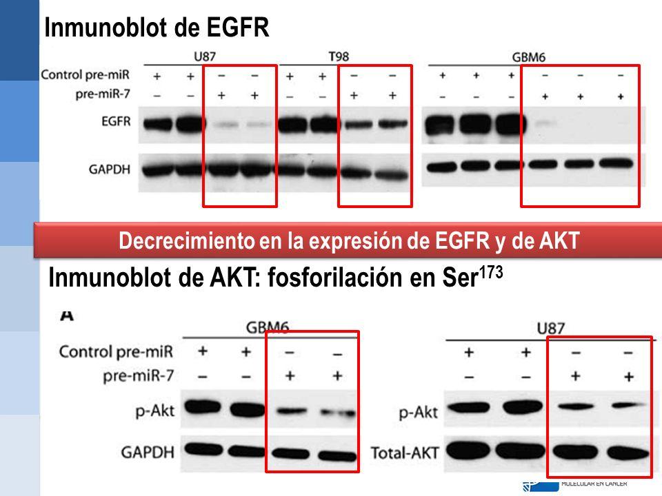 Inmunoblot de EGFR Inmunoblot de AKT: fosforilación en Ser 173 Decrecimiento en la expresión de EGFR y de AKT
