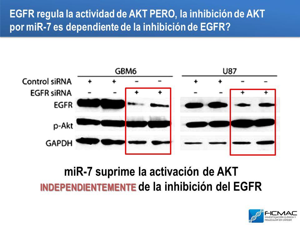 INDEPENDIENTEMENTE miR-7 suprime la activación de AKT INDEPENDIENTEMENTE de la inhibición del EGFR EGFR regula la actividad de AKT PERO, la inhibición