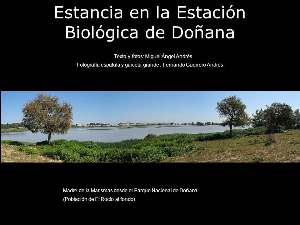 Estancia en la Estación Biológica de Doñana Texto y fotos: Miguel Ángel Andrés Fotografía espátula y garceta grande : Fernando Guerrero Andrés Madre d