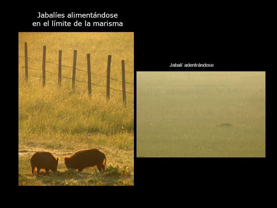Jabalíes alimentándose en el límite de la marisma Jabalí adentrándose