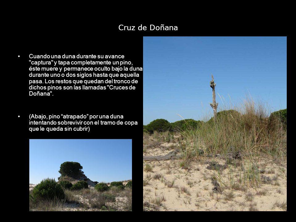 Cruz de Doñana Cuando una duna durante su avance