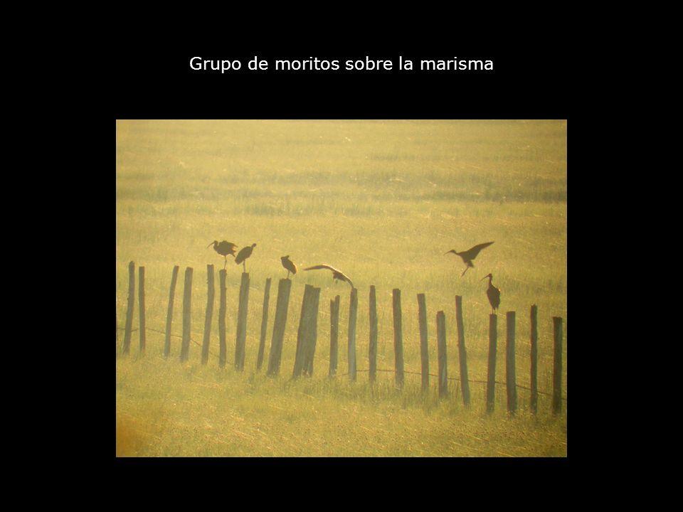 Grupo de moritos sobre la marisma