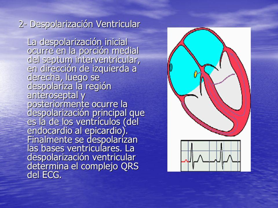 2- Despolarización Ventricular La despolarización inicial ocurre en la porción medial del septum interventricular, en dirección de izquierda a derecha, luego se despolariza la región anteroseptal y posteriormente ocurre la despolarización principal que es la de los ventrículos (del endocardio al epicardio).