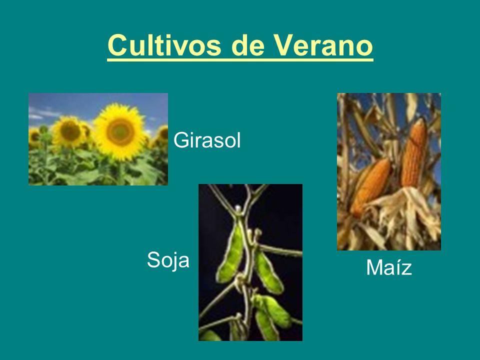 Cultivos de Verano Girasol Soja Maíz