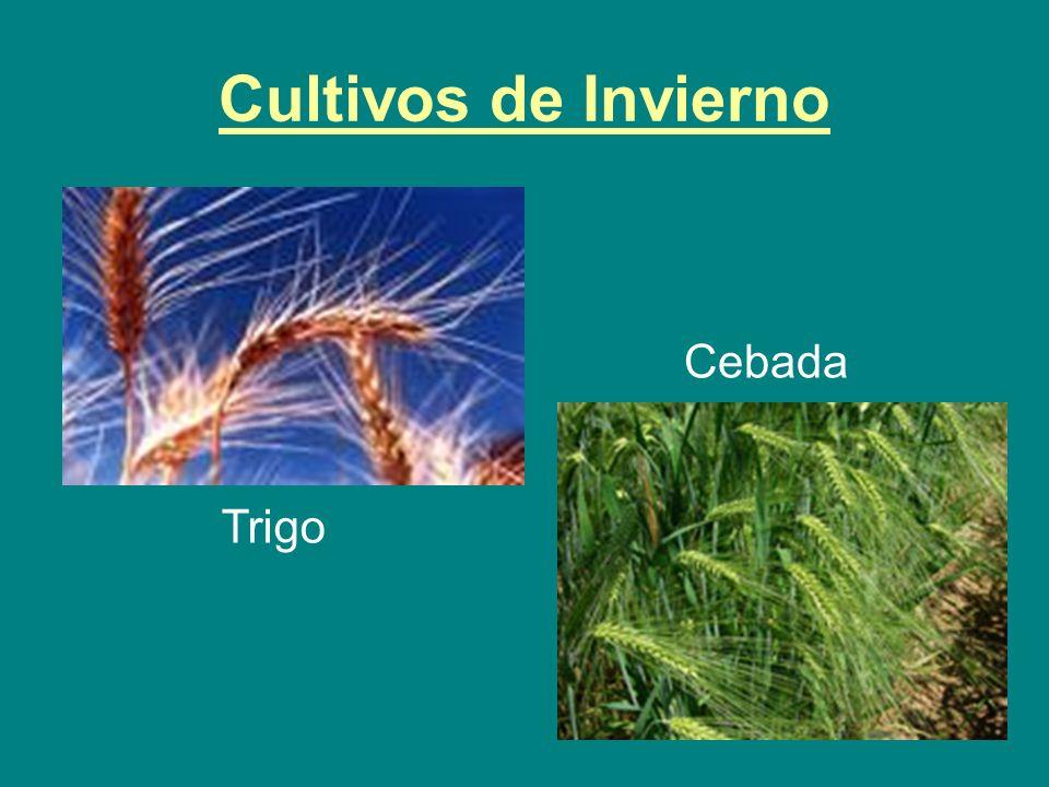 Cultivos de Invierno Trigo Cebada