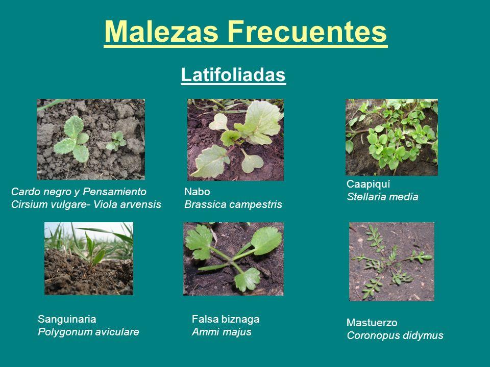 Soja: Herbicidas Post-Emergentes Grupo QuímicoIngrediente Activo Mecanismo de Acción Malezas BenzotiadiazolesBentazón*Inhibidor de la Fotosíntesis.