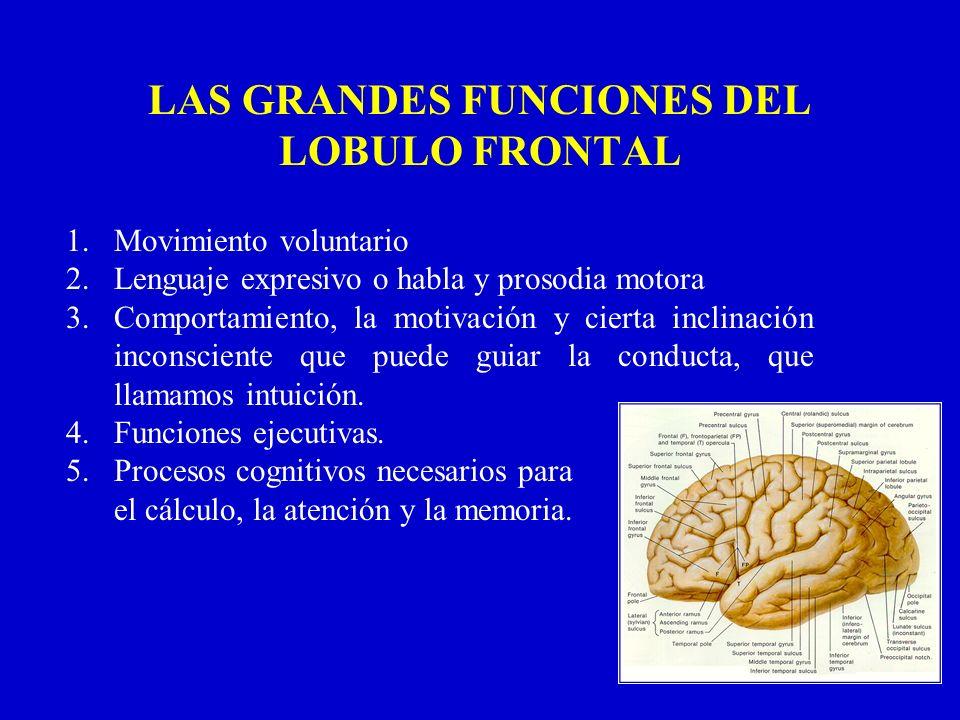 LAS GRANDES FUNCIONES DEL LOBULO FRONTAL 1.Movimiento voluntario 2.Lenguaje expresivo o habla y prosodia motora 3.Comportamiento, la motivación y cier