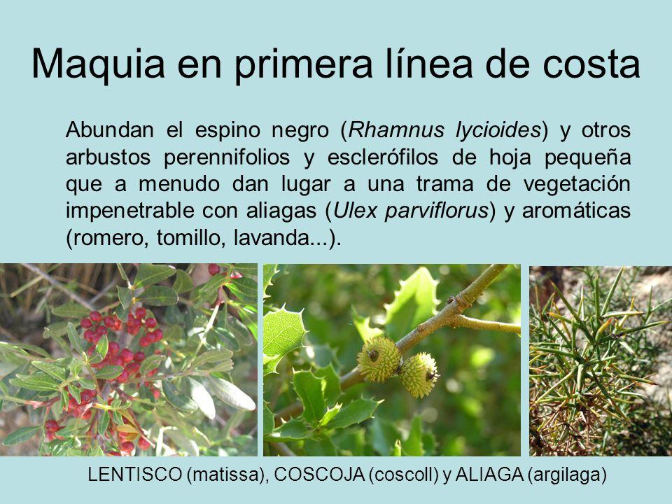 Maquia en primera línea de costa Abundan el espino negro (Rhamnus lycioides) y otros arbustos perennifolios y esclerófilos de hoja pequeña que a menud