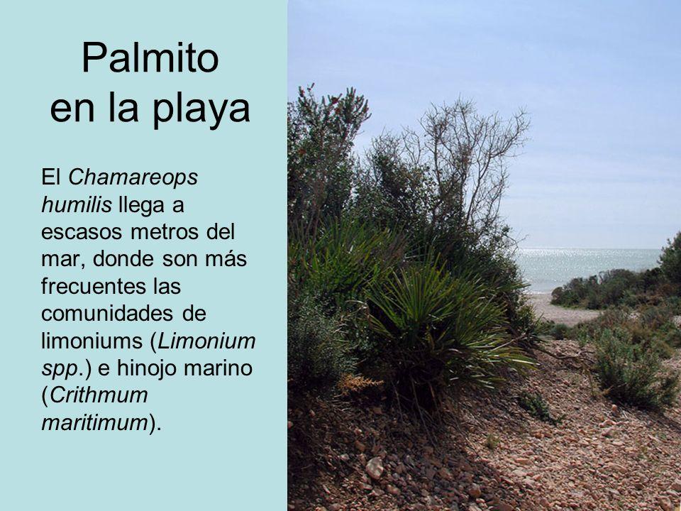 Palmito en la playa El Chamareops humilis llega a escasos metros del mar, donde son más frecuentes las comunidades de limoniums (Limonium spp.) e hino