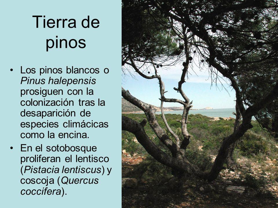 Tierra de pinos Los pinos blancos o Pinus halepensis prosiguen con la colonización tras la desaparición de especies climácicas como la encina. En el s