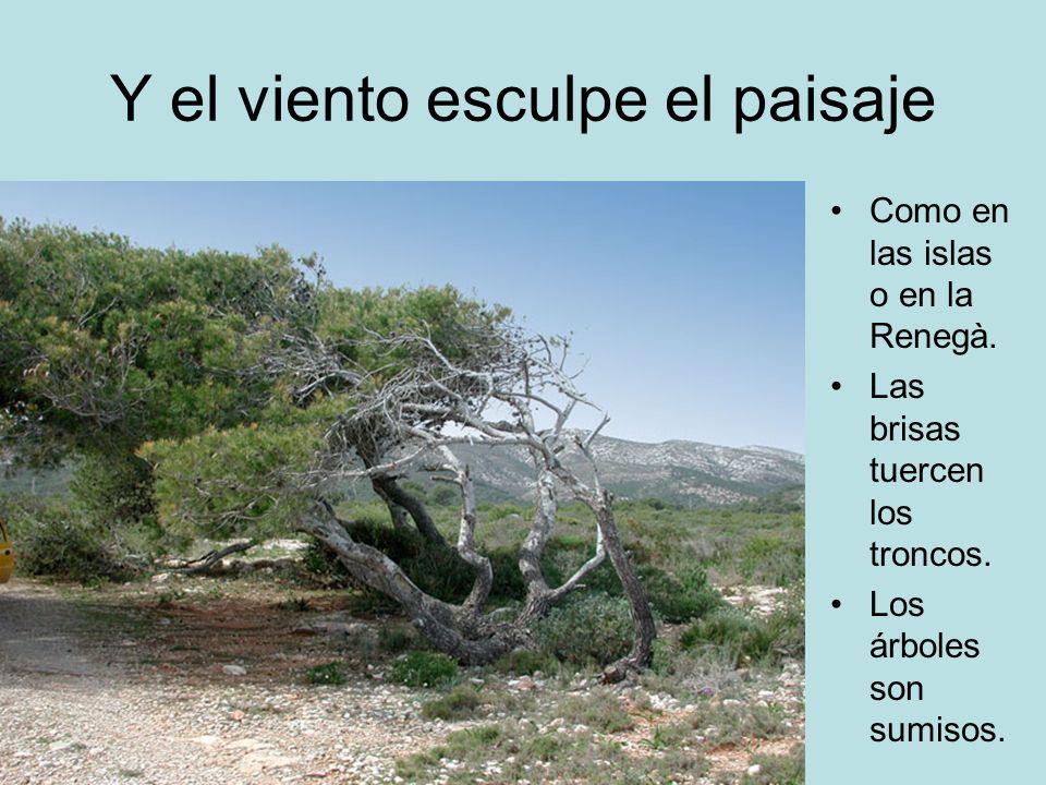 Y el viento esculpe el paisaje Como en las islas o en la Renegà. Las brisas tuercen los troncos. Los árboles son sumisos.