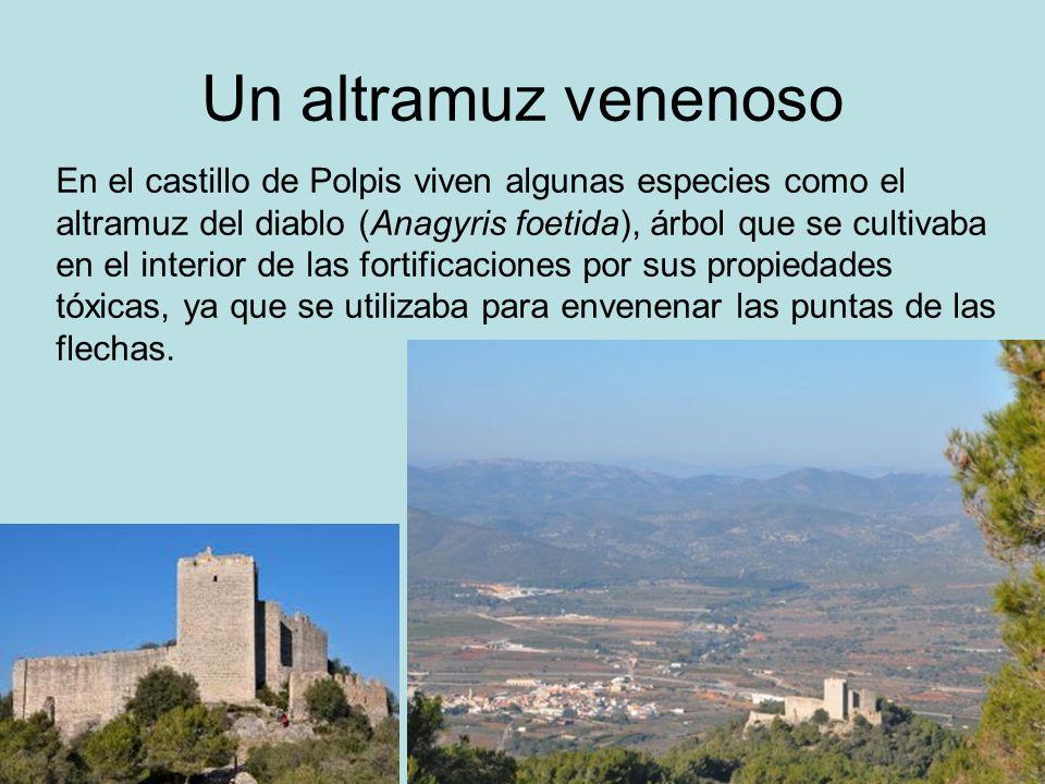 Un altramuz venenoso En el castillo de Polpis viven algunas especies como el altramuz del diablo (Anagyris foetida), árbol que se cultivaba en el inte