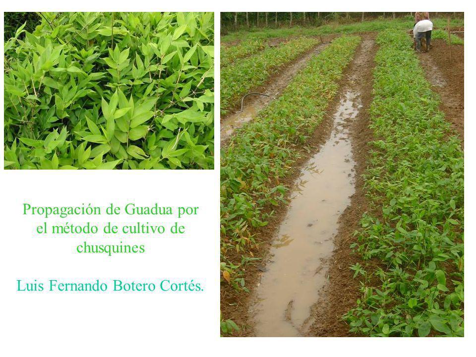 Propagación de Guadua por el método de cultivo de chusquines Luis Fernando Botero Cortés.