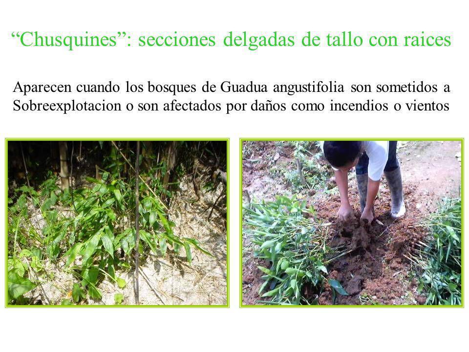 Chusquines: secciones delgadas de tallo con raices Aparecen cuando los bosques de Guadua angustifolia son sometidos a Sobreexplotacion o son afectados