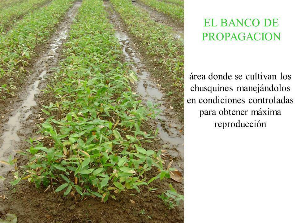 EL BANCO DE PROPAGACION área donde se cultivan los chusquines manejándolos en condiciones controladas para obtener máxima reproducción