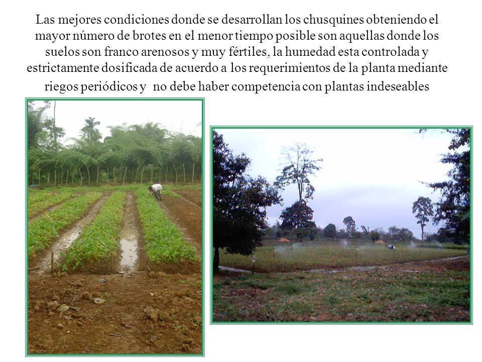 Las mejores condiciones donde se desarrollan los chusquines obteniendo el mayor número de brotes en el menor tiempo posible son aquellas donde los sue