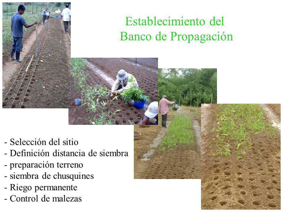Establecimiento del Banco de Propagación - Selección del sitio - Definición distancia de siembra - preparación terreno - siembra de chusquines - Riego