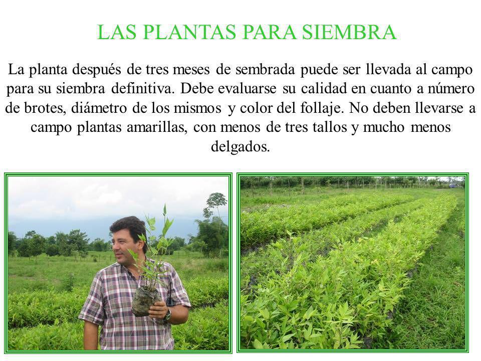 La planta después de tres meses de sembrada puede ser llevada al campo para su siembra definitiva. Debe evaluarse su calidad en cuanto a número de bro