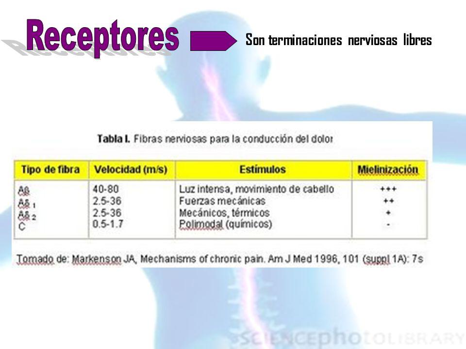 Vías ascendentes Tracto espinoreticular anterior / Tracto espinomesencefálico / Tracto cervicotalámico / Tracto espinotalámico