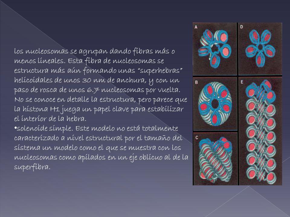 los nucleosomas se agrupan dando fibras más o menos lineales. Esta fibra de nucleosomas se estructura más aún formando unas superhebras helicoidales d