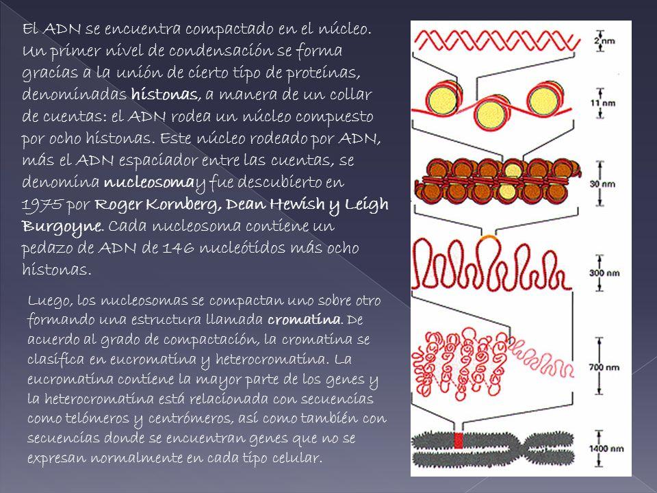 COMPOSICIÓN QUÍMICA DE LA CROMATINA Los principales componentes que se obtienen cuando se aísla la cromatina de los núcleos interfacicos: ADN PROTEINAS HISTONICAS PROTEINAS NO HISTONICAS ARN ADNHISTONASNO HISTONAS ARN 110,5-1,50,05 Si se toma como unidad de comparación la cantidad de ADN, los demás componentes aparecen en las siguientes proporciones