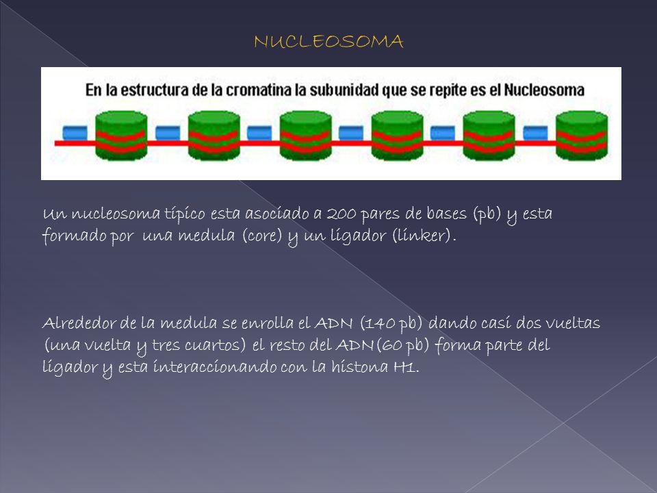 Un nucleosoma típico esta asociado a 200 pares de bases (pb) y esta formado por una medula (core) y un ligador (linker). Alrededor de la medula se enr