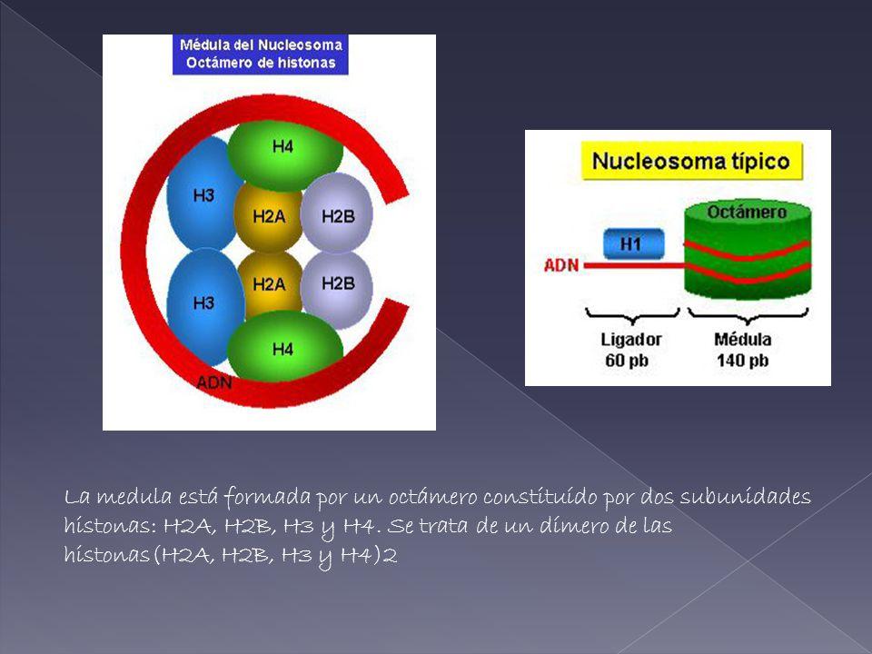 La medula está formada por un octámero constituído por dos subunidades histonas: H2A, H2B, H3 y H4. Se trata de un dímero de las histonas(H2A, H2B, H3