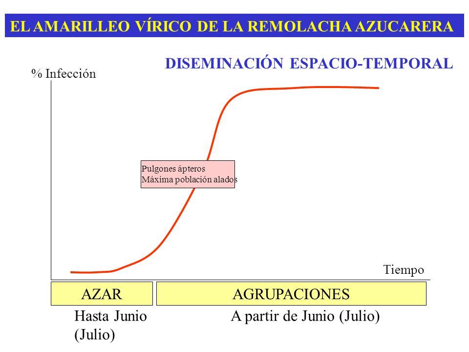 EL AMARILLEO VÍRICO DE LA REMOLACHA AZUCARERA DISEMINACIÓN ESPACIO-TEMPORAL % Infección Pulgones ápteros Máxima población alados Tiempo AZAR Hasta Jun