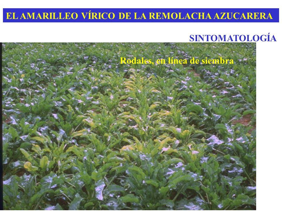 EL AMARILLEO VÍRICO DE LA REMOLACHA AZUCARERA SINTOMATOLOGÍA Rodales, en línea de siembra