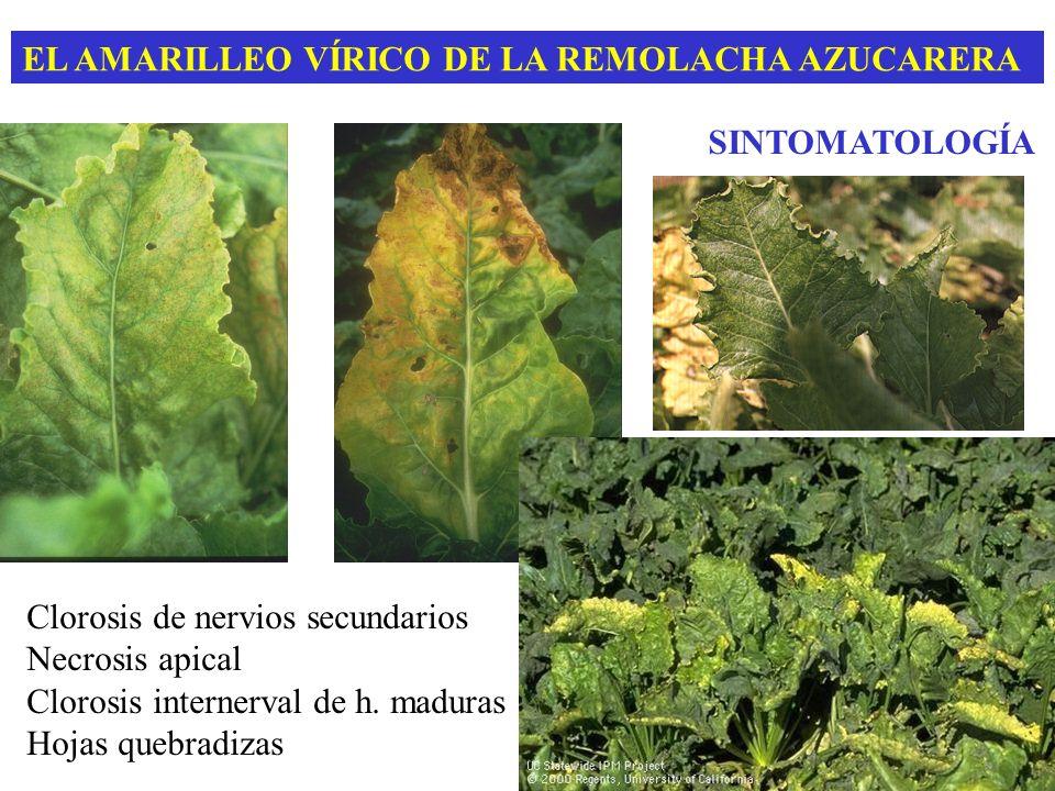 EL AMARILLEO VÍRICO DE LA REMOLACHA AZUCARERA SINTOMATOLOGÍA Clorosis de nervios secundarios Necrosis apical Clorosis internerval de h. maduras Hojas