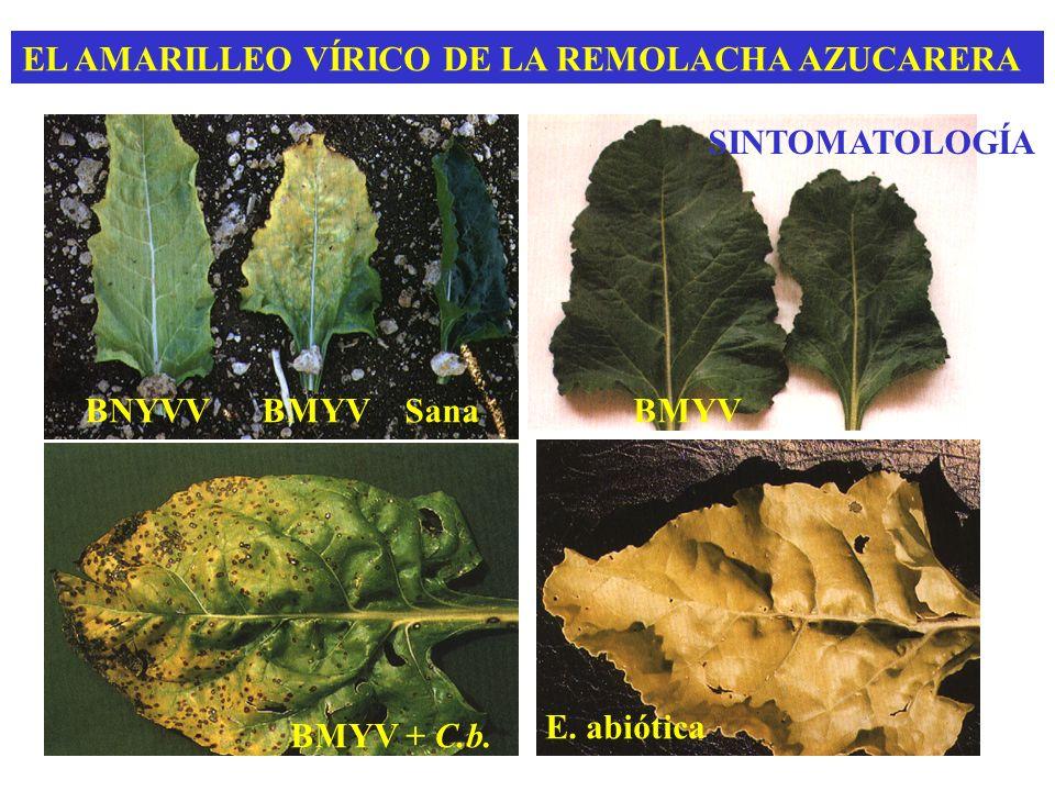 EL AMARILLEO VÍRICO DE LA REMOLACHA AZUCARERA SINTOMATOLOGÍA BNYVV BMYV Sana BMYV + C.b. E. abiótica BMYV
