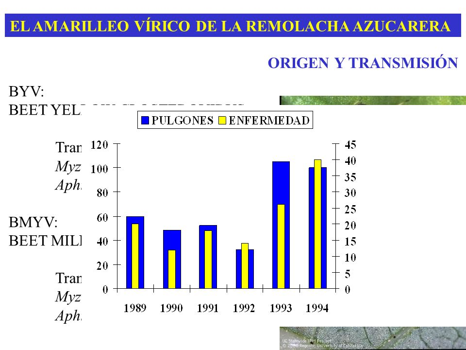 EL AMARILLEO VÍRICO DE LA REMOLACHA AZUCARERA BYV: BEET YELLOW CLOSTEROVIRUS Transmisión semi-persistente Myzus persicae (80%) Aphis fabae (18%) BMYV:
