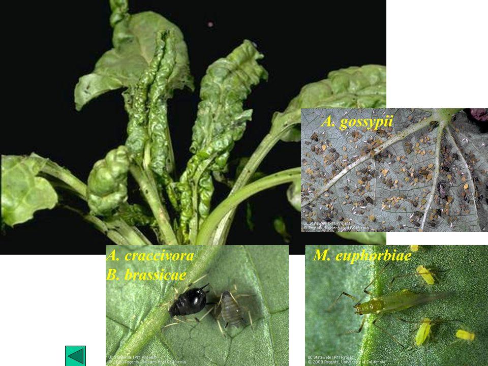 M. euphorbiae A. gossypii A. craccivora B. brassicae