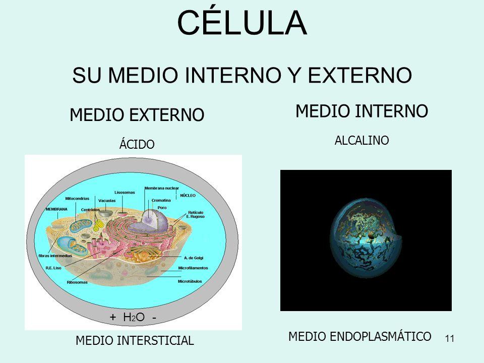 11 CÉLULA SU MEDIO INTERNO Y EXTERNO MEDIO INTERNO ALCALINO MEDIO ENDOPLASMÁTICO MEDIO EXTERNO ÁCIDO MEDIO INTERSTICIAL + H 2 O -