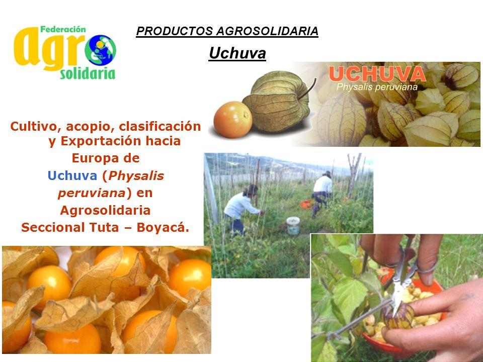 Uchuva Cultivo, acopio, clasificación y Exportación hacia Europa de Uchuva (Physalis peruviana) en Agrosolidaria Seccional Tuta – Boyacá. PRODUCTOS AG