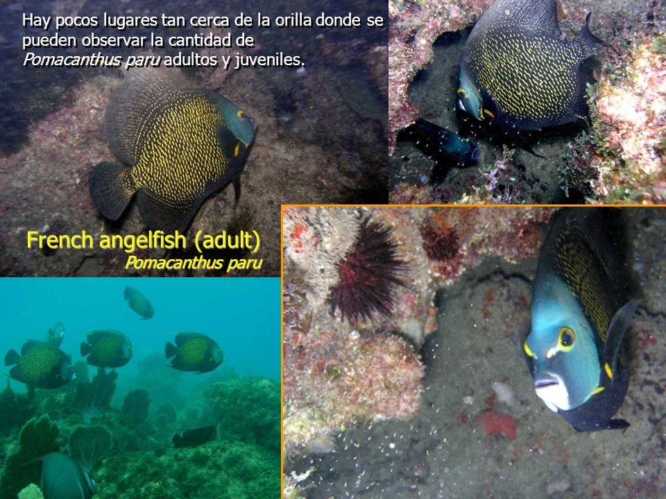 French angelfish (adult) Pomacanthus paru Hay pocos lugares tan cerca de la orilla donde se pueden observar la cantidad de Pomacanthus paru adultos y