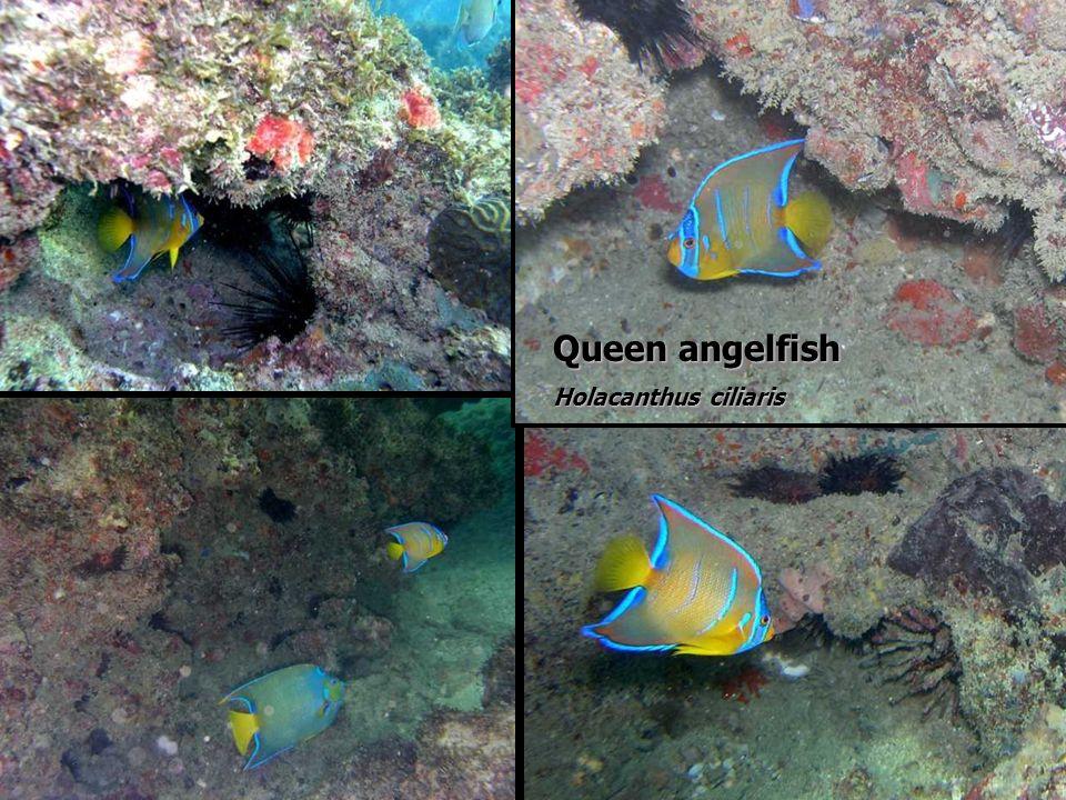 Queen angelfish Holacanthus ciliaris Queen angelfish Holacanthus ciliaris