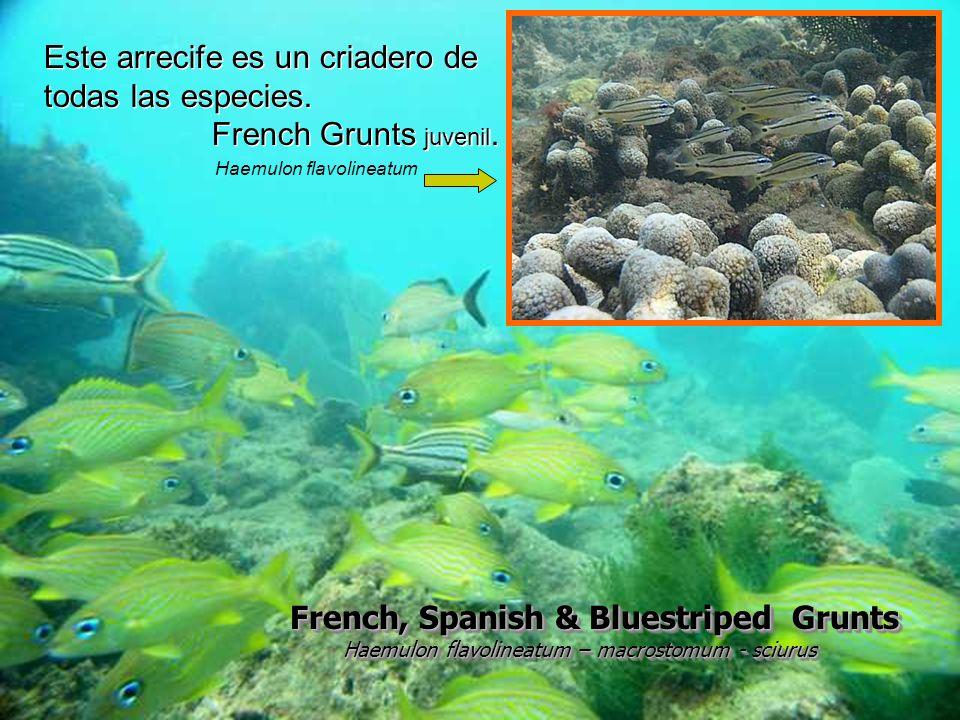 French, Spanish & Bluestriped Grunts Haemulon flavolineatum – macrostomum - sciurus Haemulon flavolineatum – macrostomum - sciurus French, Spanish & B