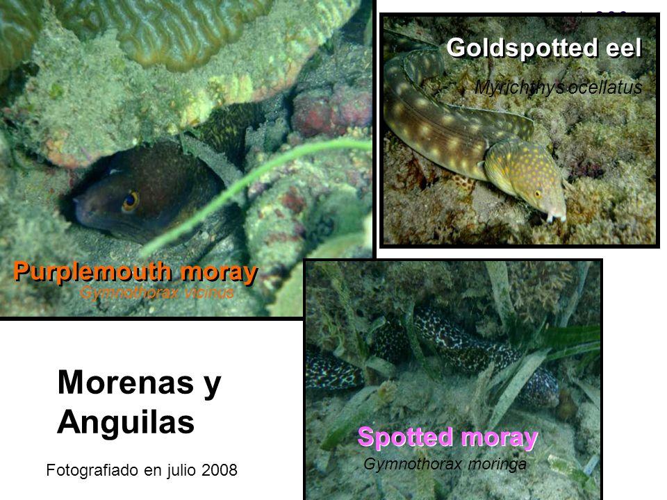 Morenas y Anguilas Purplemouth moray Gymnothorax vicinus Goldspotted eel Myrichthys ocellatus Spotted moray Gymnothorax moringa Fotografiado en julio