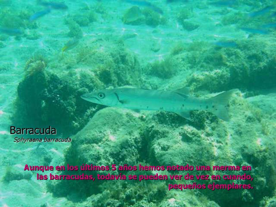 Barracuda Sphyraena barracuda Aunque en los últimos 5 años hemos notado una merma en las barracudas, todavía se pueden ver de vez en cuando, pequeños