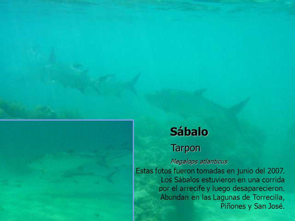 Sábalo Tarpon Megalops atlanticus Estas fotos fueron tomadas en junio del 2007. Los Sábalos estuvieron en una corrida por el arrecife y luego desapare
