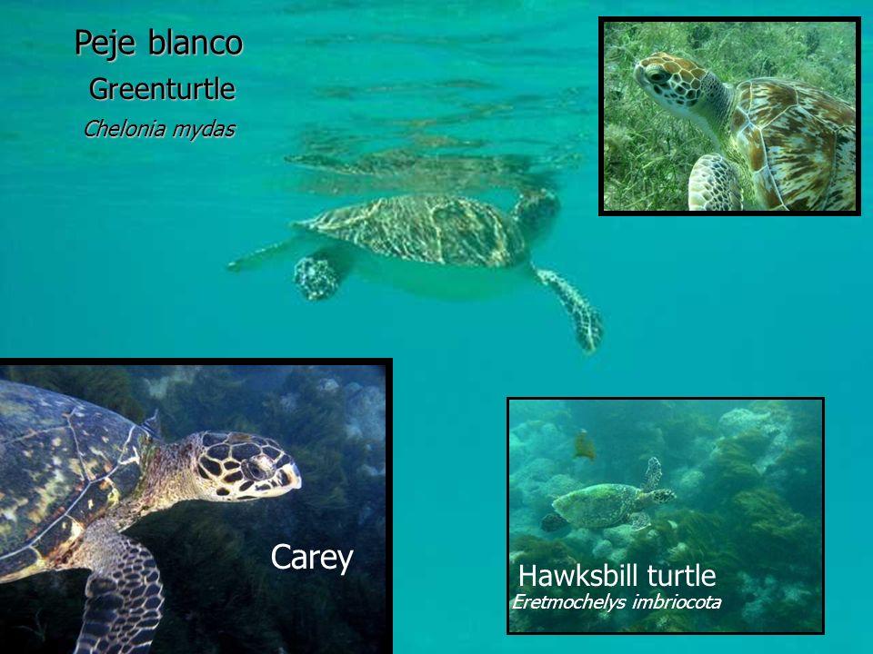 Greenturtle Chelonia mydas Peje blanco Carey Hawksbill turtle Eretmochelys imbriocota