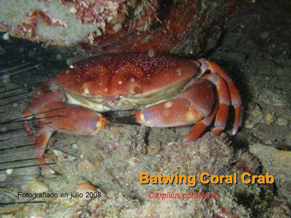 Batwing Coral Crab Carpilius corallinus Fotografiado en julio 2008