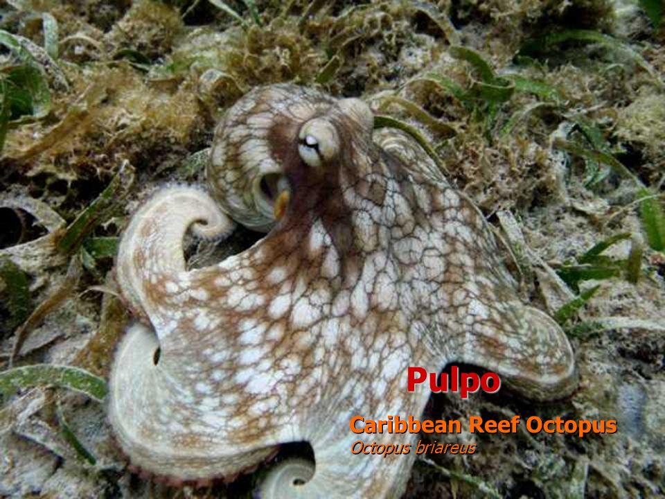 Pulpo Caribbean Reef Octopus Octopus briareus Caribbean Reef Octopus Octopus briareus