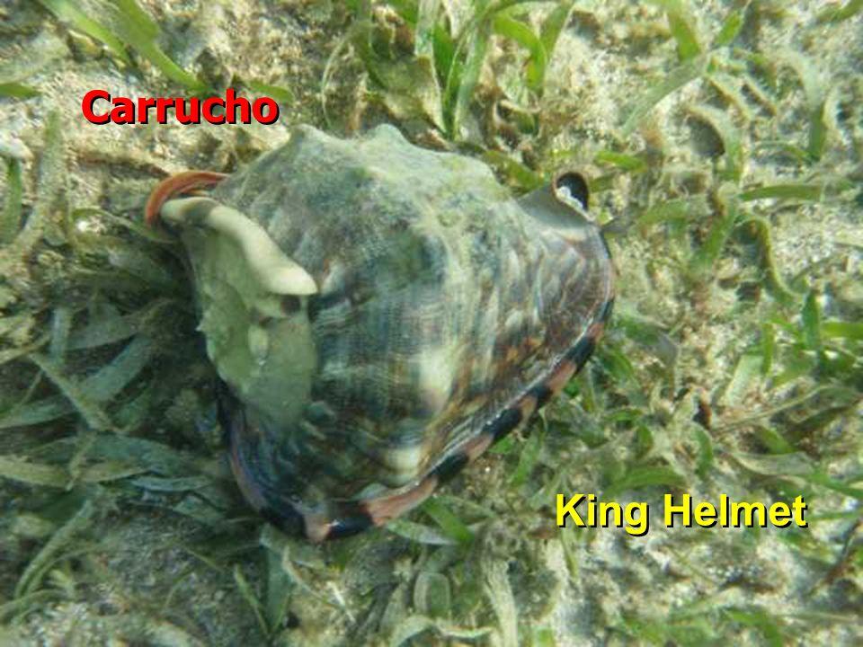 Carrucho King Helmet