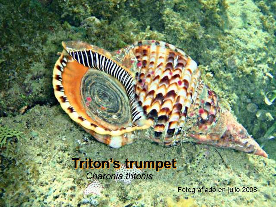 Tritons trumpet Charonia tritonis Fotografiado en julio 2008